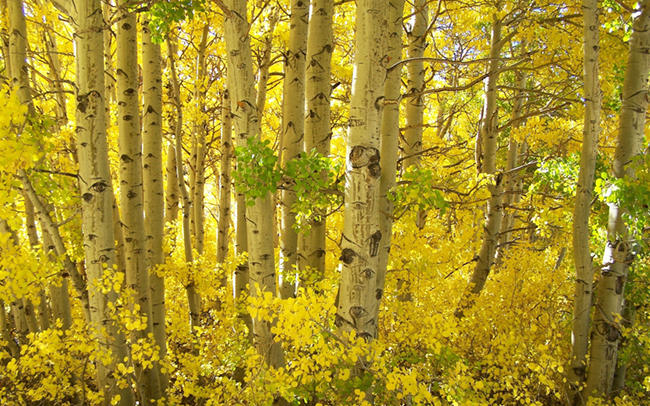 Aspens_in_Fall_thumbnail.jpg